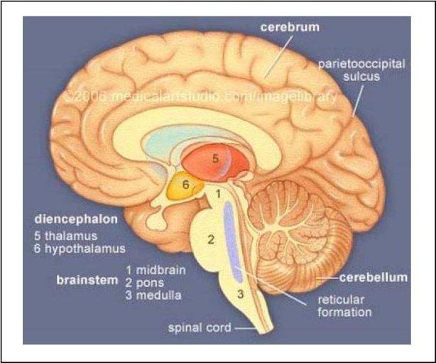 bulbe cerveau